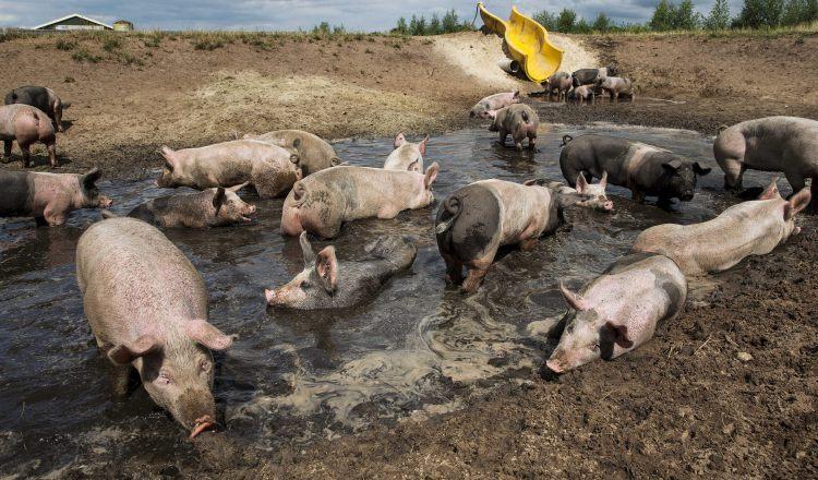 El sacrificio de porcinos baja 7 por ciento en el primer cuatrimestre del año, debido a las importaciones