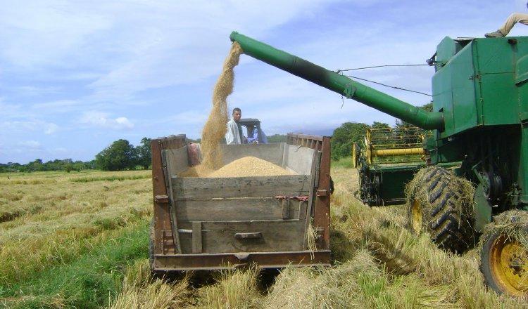 Panamá podría ser autosostenible en la producción de arroz en seis años