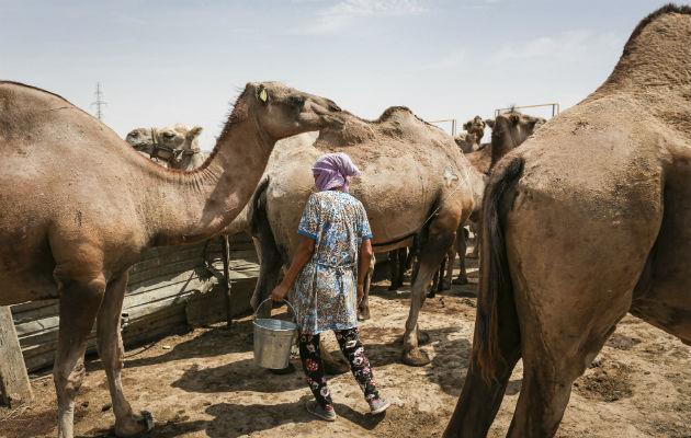¿Se podrá lograr un mejor camello?