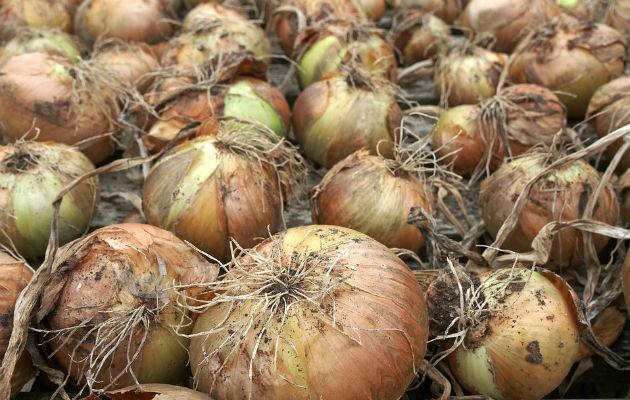 Mida y Aduanas decomisan cebolla procedente de Estados Unidos