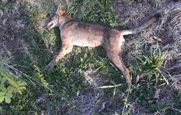 Coyotes atacan el ganado y la cría de aves en Macano de Boquerón