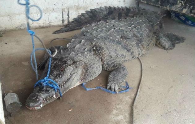 Trabajadores atrapan un enorme cocodrilo en una bananera de Bocas del Toro