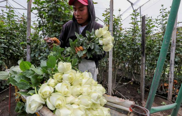 Rosas de Ecuador, preparadas para enamorar a medio mundo en San Valentín