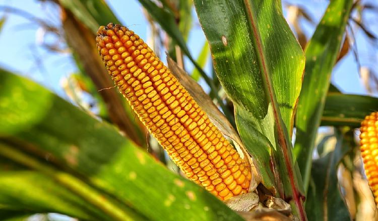 Muestra sobre el maíz