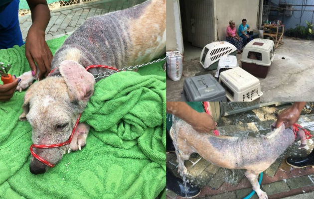 Maltrato animal en Panamá se incrementa a pesar de ley que castiga esa conducta