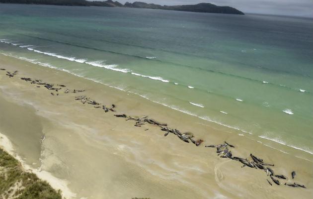 Tristeza tras la pérdida de 145 ballenas piloto en Nueva Zelanda