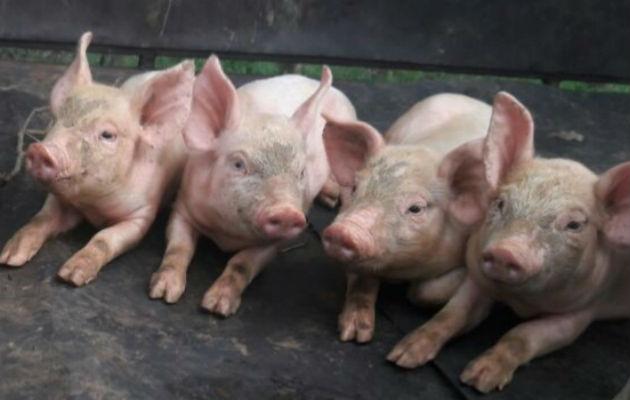 El director nacional de Salud Animal, Concepción Santos Sanjur, explicó técnicamente que la peste porcina es una enfermedad