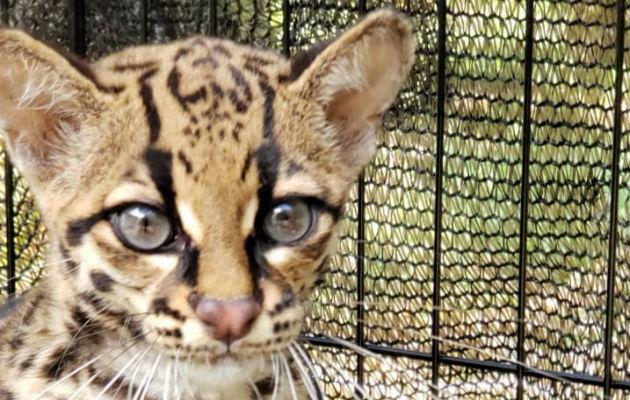 Biólogos de Mi Ambiente lograron el rescate de una tigrilla