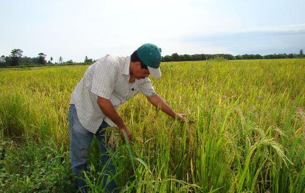 Importación de arroz impacta el producto nacional