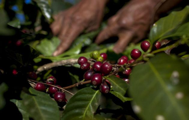 Colombia prevé cosecha cafetera de entre 13 y 13.5 millones de sacos en 2015
