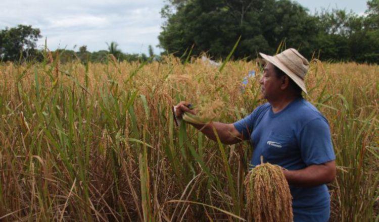 Inicio cosecha de arroz en Chiriquí.