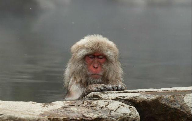 Aguas termales liberan estrés de 'monos de nieve' japoneses, según estudio