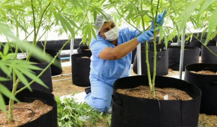 'No al autocultivo del cannabis'