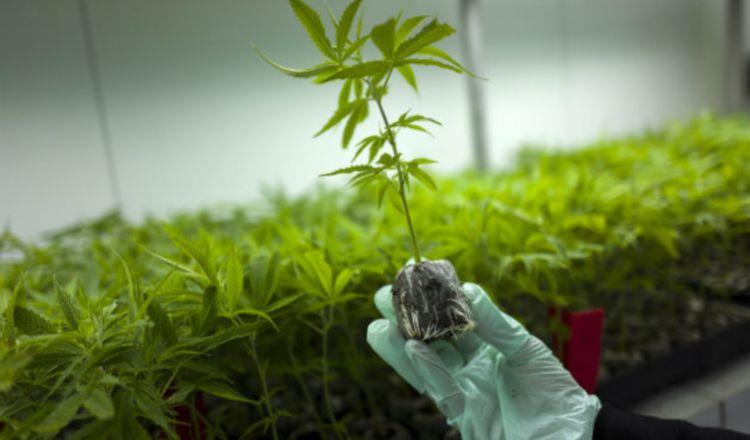 Nuevamente, una subcomisión analizará proyecto sobre marihuana medicinal