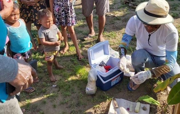 Panamá está libre del hongo Fusarium, que afecta plátanos y banano