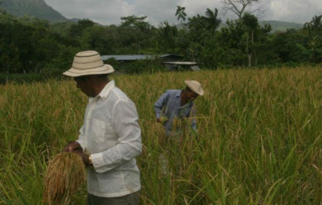 Producción de arroz se incrementa en 3,437 hectáreas