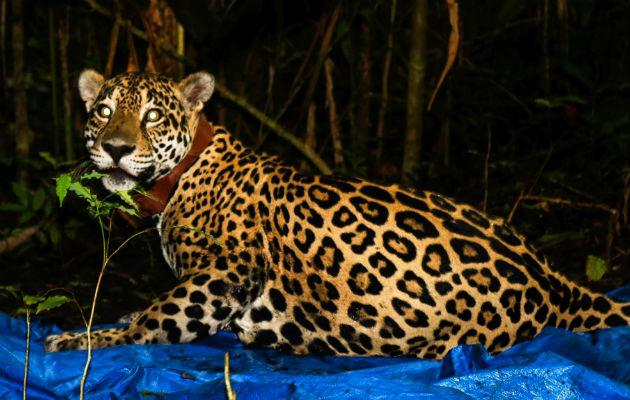 Tecnología GPS es el mejor aliado para la preservación del jaguar en Panamá