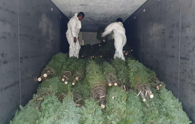 Más de 12 mil árboles de Navidad ya están en Panamá