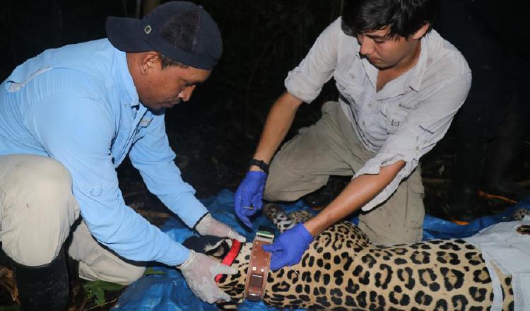 Tecnología GPS para luchar contra la extinción del jaguar en Panamá