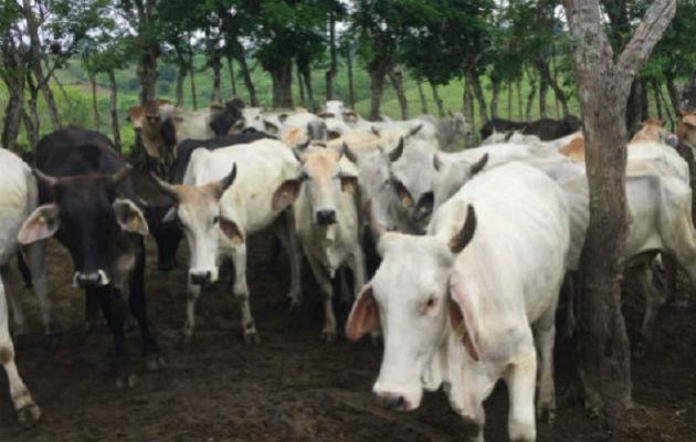 Ganaderos de Los Santos desmienten acuerdo con la empresa Carnes de Coclé