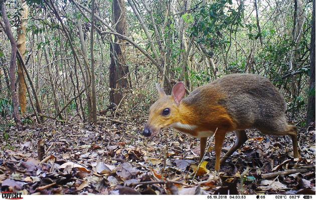 Ciervo Ratón, un animal en peligro de extinción es captado por cámaras trampa