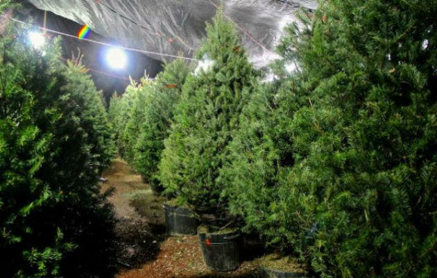 Arbolitos de Navidad se pueden conseguir desde $23 hasta $200, según encuesta de la Acodeco