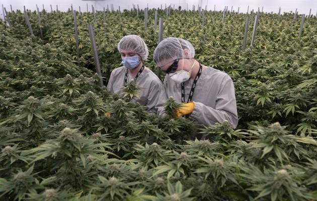 La marihuana es legal en Canadá, pero no es rentable