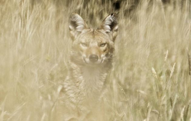 Un coyote camuflado entre la maleza en las faldas del volcán Irazú en Costa Rica. Foto: EFE.
