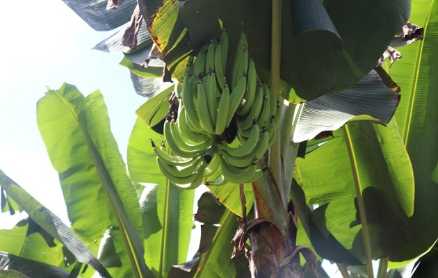 La FAO inicia un programa para prevenir enfermedad devastadora que afecta el banano