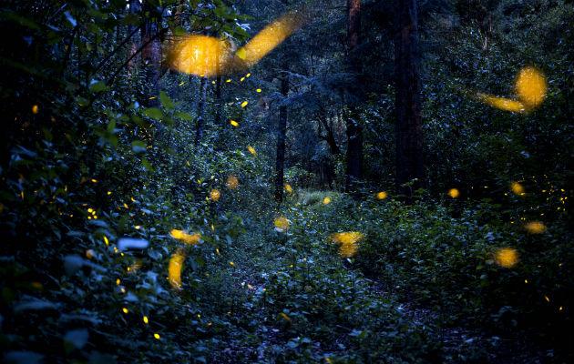 Contaminación de luz dificulta el cortejo de luciérnagas