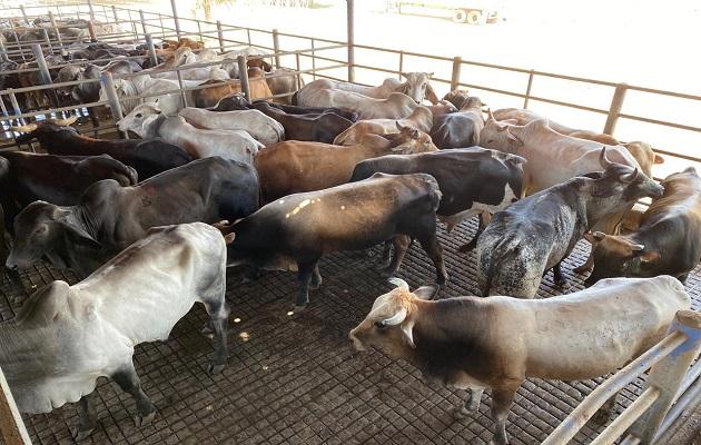 Coronavirus en Panamá: Gobierno compra novillos y cerdos para el Plan de Solidaridad Alimentaria