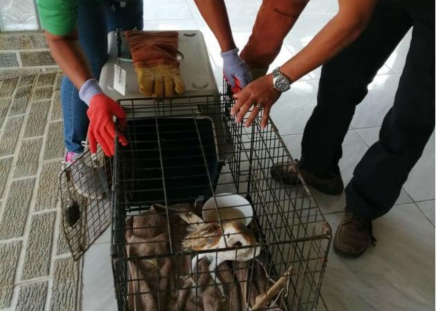 Funcionarios de MiAmbiente trasladaron al ave a su hábitat. Foto: Thays Domínguez.