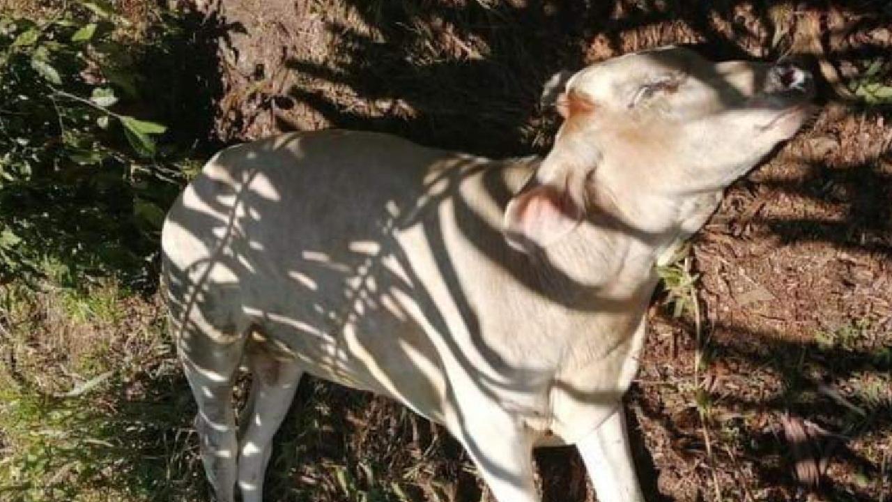 Alerta cerca de la frontera tico panameña al registrarse un séptimo brote de rabia bovina