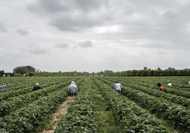 Italianos intentan volver a la labor agrícola