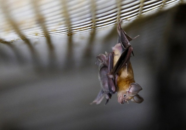 Rastrean en murciélagos la evolución del coronavirus