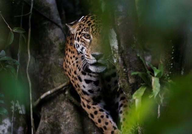 Los jaguares se hallan de nuevo bajo asedio