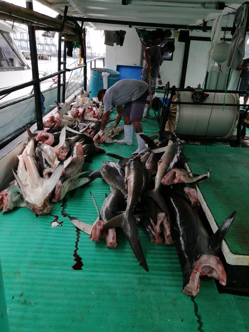 Capturan dos embarcaciones costarricenses con unas 10 mil libras de tiburón