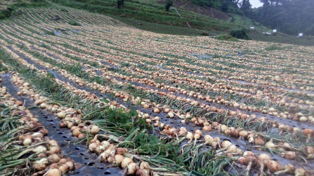 Productores de Tierras Altas en Chiriquí culpan a los importadores por el desabastecimiento de cebolla
