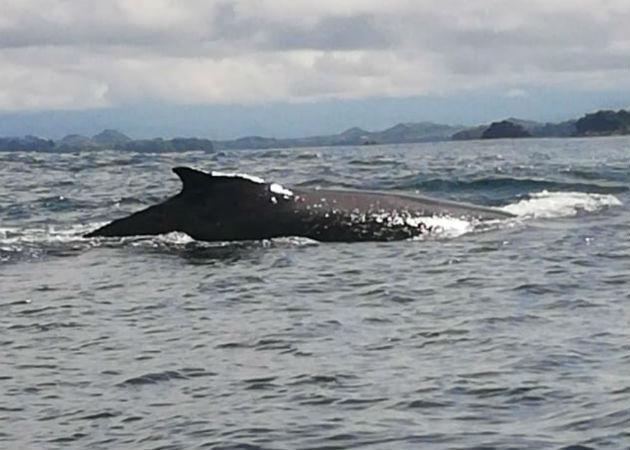 Una ballena jorobada en las aguas del Pacífico chiricano. Foto: Mayra Madrid.