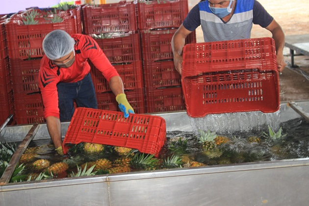 Las empresas han logrado mantener los niveles de exportación de piña, y se mantiene abastecido al mercado nacional.