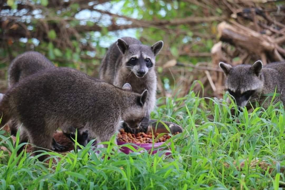 MiAmbiente advierte sobre los efectos negativos que hay por alimentar a los mapaches