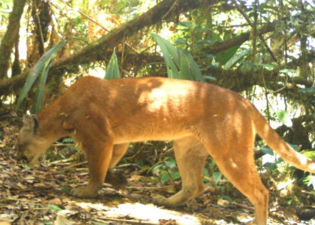 Un ejemplar de tapir (macho de monte), fue captado también por la cámara trampa. Fotos: Mayra Madrid.