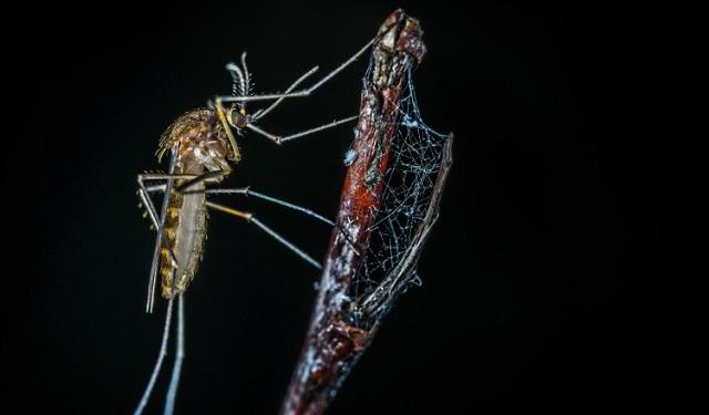 Tecnología biológica podría frenar la propagación del dengue