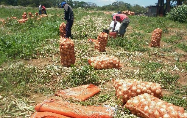 Panamá importará 25 mil quintales de cebolla para octubre