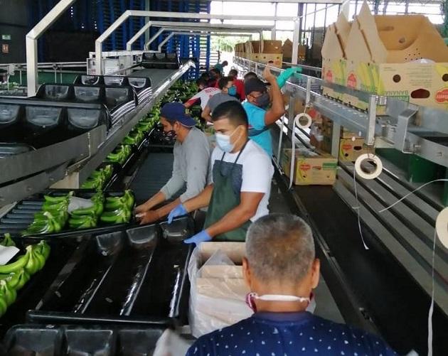Panamá exporta 36 contenedores de banano hacia Asia y Estados Unidos