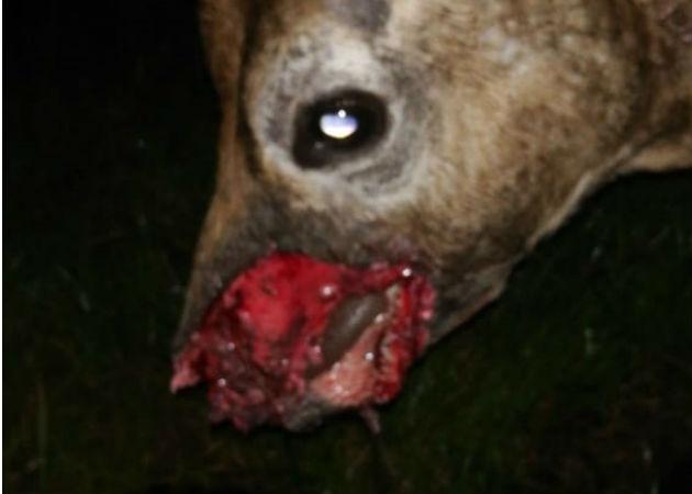 Los coyotes les han llegado a arrancar parte del cuerpo a los terneros. Fotos: José Vásquez/Archivo.