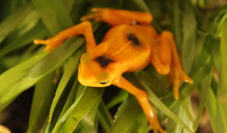 Rana Dorada: Piden ayuda, ya que la pandemia ha afectado al Centro de Conservación de Anfibios de El Valle