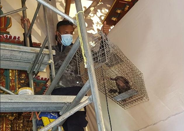 Rescatan zarigüeya que estaba dentro de la Iglesia Colonial Santo Domingo de Guzmán en Parita