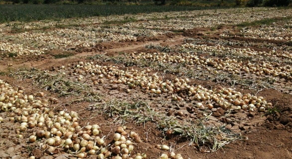 Cadena Agroalimentaria aprueba importación de 10 mil quintales de cebolla para diciembre