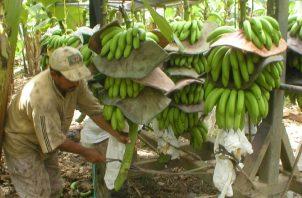 El banano, principal producto de exportación de Costa Rica. EFE
